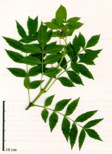 Fraxinus angustifolia **