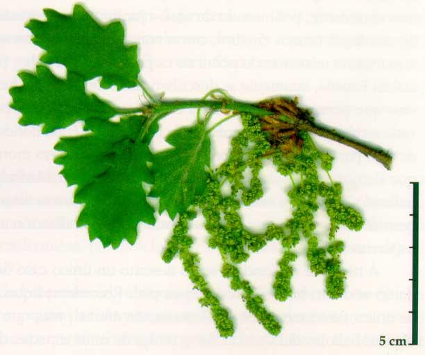 Quercus humilis **