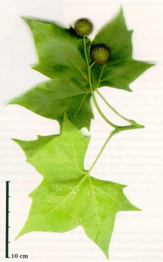 Platanus hispanica **