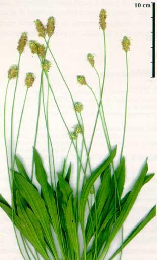 Plantago lanceolata**